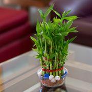 Lucky Bamboo- 2 Layer