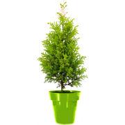 Christmas Tree in Green Colorista Pot