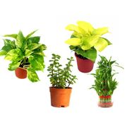 Money Plant Golden Pothos 3 Layer Lucky Bamboo and Jade Combo of Good Luck Plants