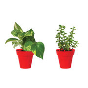 Rolling Nature Combo of Good Luck Money Plant and Jade in Small Red Colorista Pot