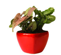 Good Luck Air Purifying Syngonium Plants Duet in Red Heart Ceramic Pot