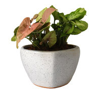 Good Luck Air Purifying Syngonium Plants Duet in White Heart Ceramic Pot