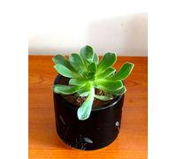 Aeonium Green Tree Succulent Plant in Black Barrel Aroez Ceramic Pot