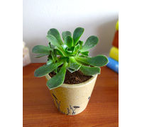 Rolling Nature Aeonium Green Tree Succulent Plant in Brown Bucket Aroez Ceramic Pot