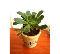 Aeonium Green Tree Succulent Plant in Brown Jar Aroez Ceramic Pot