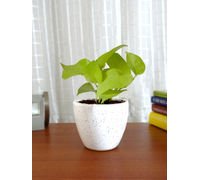 Good Luck Air Purifying Live Golden Money Plant GPCERODW-W