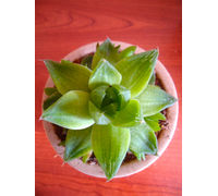 Haworthia Cooperi Succulent Plant In Brown Round Dew Pot