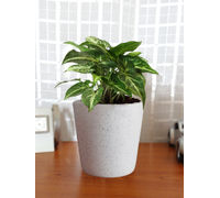 Good Luck Air Purifying Live Green Syngonium Plant SGCEBUDW-W