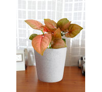 Good Luck Air Purifying Live Pink Syngonium Plant SPCEBUDW-W