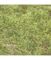 Fresh Green Moss