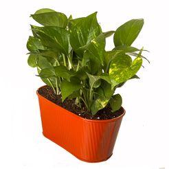 Exotic Green Indoor Money Plant in Pot