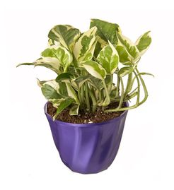 Exotic Green Indoor Plant White Pothos in Pot
