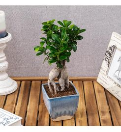 Exotic Green Amazing  3 Year Old Grafted Ficus Bonsai Plant