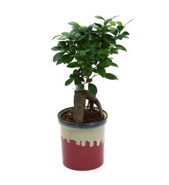 Exotic Green Ficus 3 Year Old Bonsai Plant In Metal Pot Yellow Pot