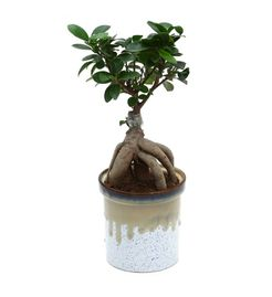 Exotic Green Amazing Ficus 4 Year Old Bonsai Plant German Brown Pot