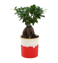 Exotic Green Ficus 4 Year Old Bonsai Plant Marble Brown Pot