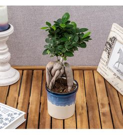 Exotic Green Exclusive Ficus 4 Year Old Bonsai Tree