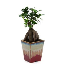 Exotic Green Ficus 4 Year Old Bonsai Plant Cream & Cookie Pot