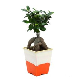 Exotic Green Ficus 4 Year Old Bonsai Plant German Brown Pot