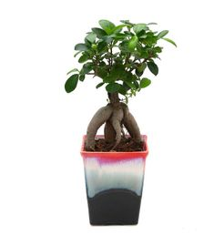 Exotic Green Ficus 4 Year Old Bonsai Plant Ocean Blue Pot