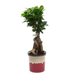Exotic Green Ficus 4 Year Old Bonsai Plant White & Blue Pot