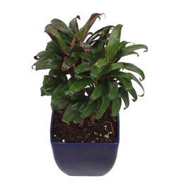Exotic Green Indoor Plant Cordeline in Blue Ceramic Pot
