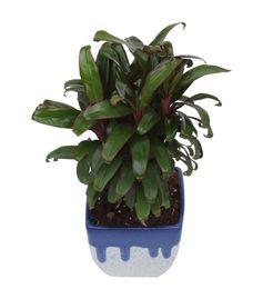 Exotic Green Indoor Plant Cordeline in Marble White&Blue Ceramic Pot
