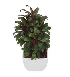 Exotic Green Indoor Plant Cordeline in White Ceramic Pot