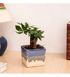 Exotic Green Feng Shui Indoor Plant Money Tree