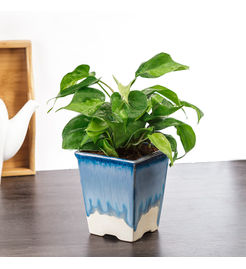 Exotic Green Indoor Philodendron Oxycardium Plant
