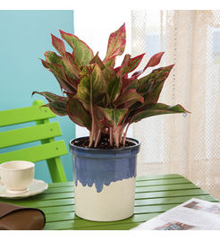 Exotic Green Indoor Plant Red Aglaonema in Pot