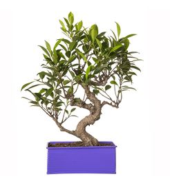 "Exotic Green 6 Year Old ""S"" Shape Ficus Bonsai Plant"
