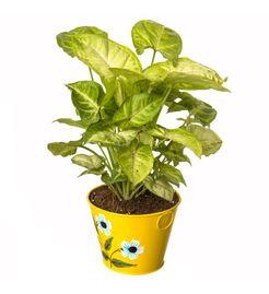 Exotic Green Indoor Plant Lemon Syngonium in Pot