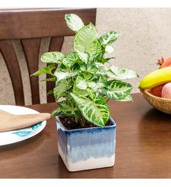 Exotic Green Syngonium Hybrid Indoor Plant in Pot