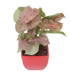 Exotic Green Indoor Plant Pink Syngonium in Ceramic Pot