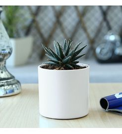 Exotic Green Succulent Gateria Plant
