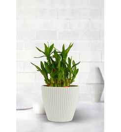 Exotic Green Feng Shui 2 Layer Bamboo Plant