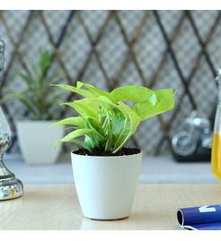 Exotic Green Oxygen &  Air Purifying Indoor Golden Pothose Plant