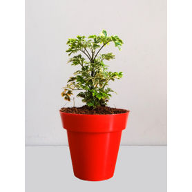 Rolling Nature Variegated Aralia Plant in Small Red Colorista Pot