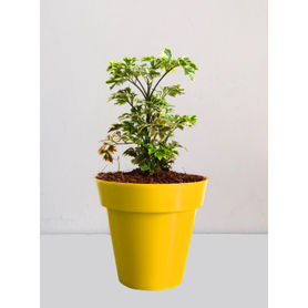 Rolling Nature Variegated  Aralia Plant in Small Yellow Colorista Pot