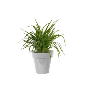 Air Purifying Spider Plant in Small White Colorista Pot