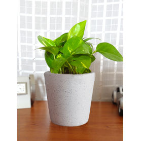 Good Luck Air Purifying Live Money Plant MPCEBUDW-W