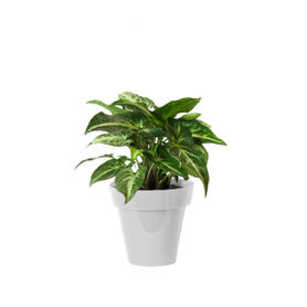 Good Luck Green Syngonium Plant Small White Colorista Pot