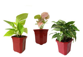 Combo of Good Luck Golden Money Plant, Pink Syngonium and Syngonium Green in Maroon Hexa Pot