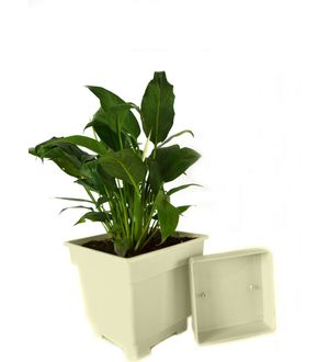 Good Luck Peace Lily in White Square Colorista Pot