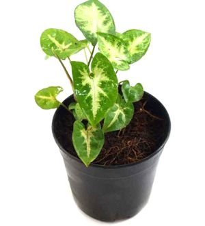 Syngonium - White Variegated