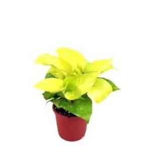 Good Luck Golden Pothos Indoor Plant