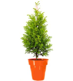 Christmas Tree in Orange Colorista Pot