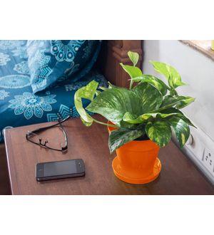 Good Luck Hybrid Money Plant in Orange Colorista Pot