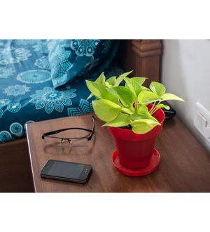Good Luck Golden Money Plant in Red Colorista Pot